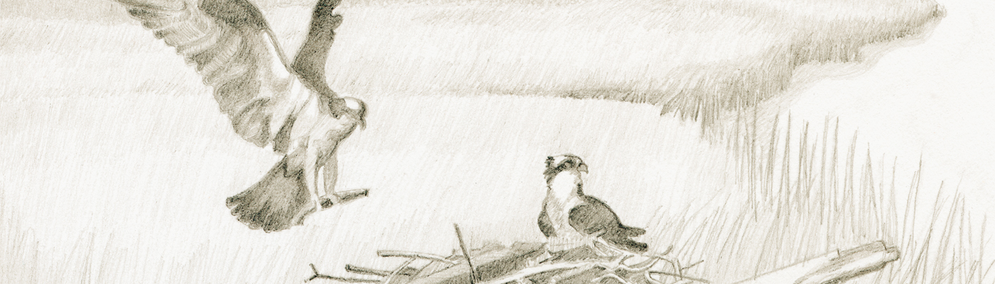 Catherine Christiano, Poverty Island - Osprey, 2006, limited edition reproduction of graphite on paper, 7 x 7 inches.